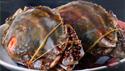 舟山梭子蟹